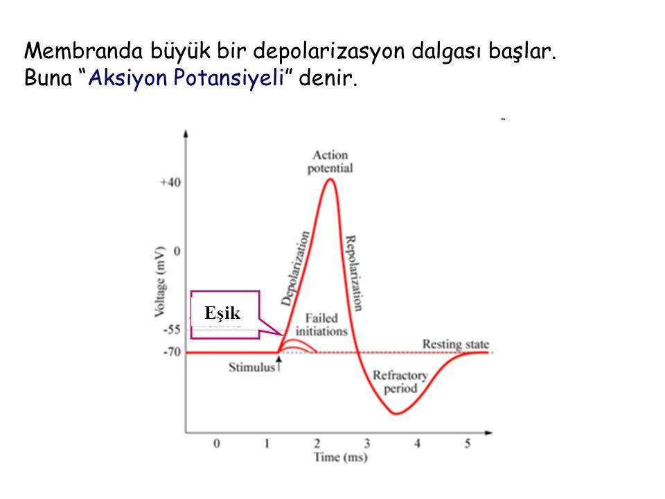 Membranda büyük bir depolarizasyon dalgası başlar