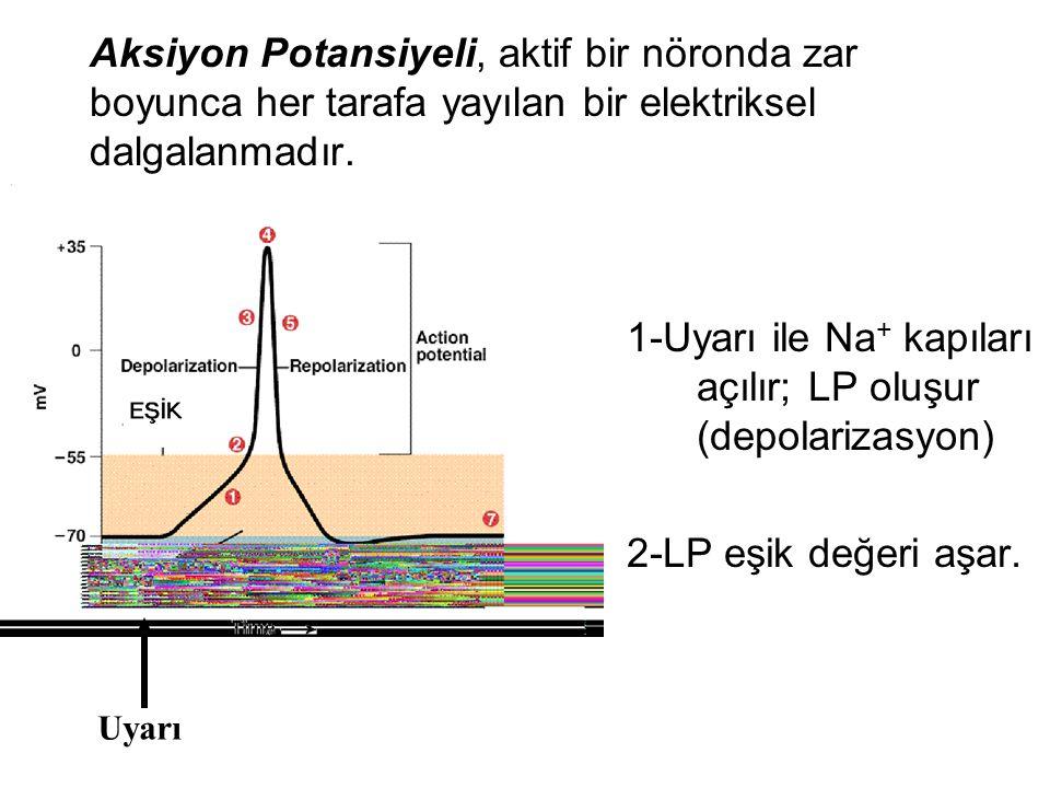 1-Uyarı ile Na+ kapıları açılır; LP oluşur (depolarizasyon)
