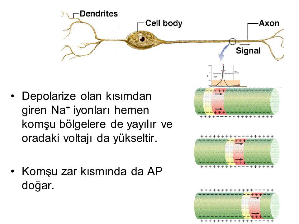 Depolarize olan kısımdan giren Na+ iyonları hemen komşu bölgelere de yayılır ve oradaki voltajı da yükseltir.