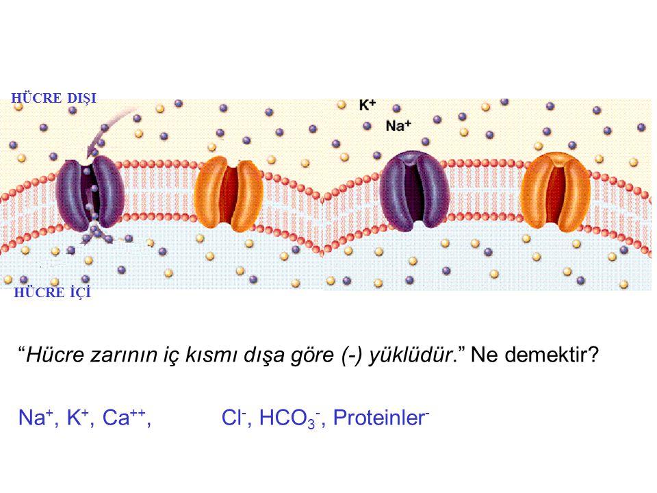 Hücre zarının iç kısmı dışa göre (-) yüklüdür. Ne demektir