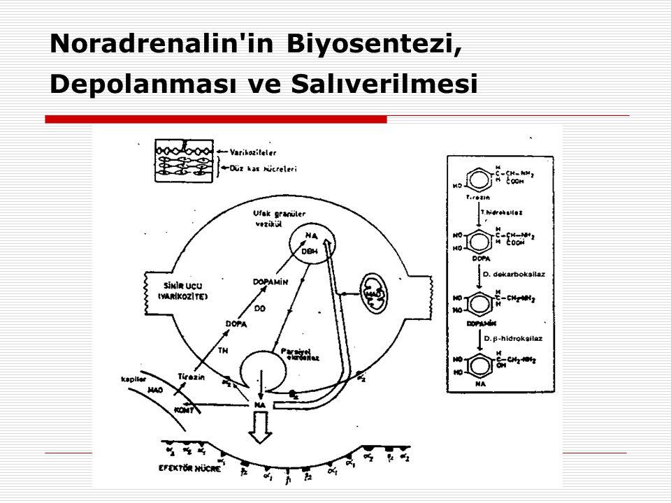 Noradrenalin in Biyosentezi, Depolanması ve Salıverilmesi