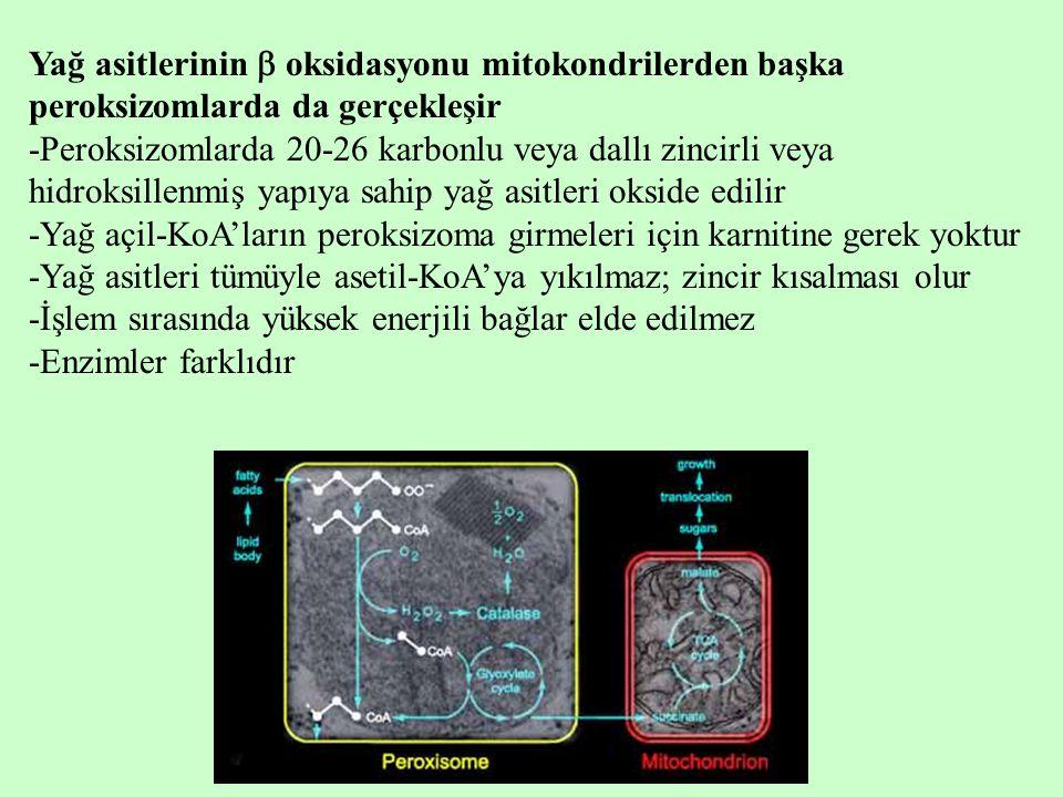 Yağ asitlerinin  oksidasyonu mitokondrilerden başka peroksizomlarda da gerçekleşir