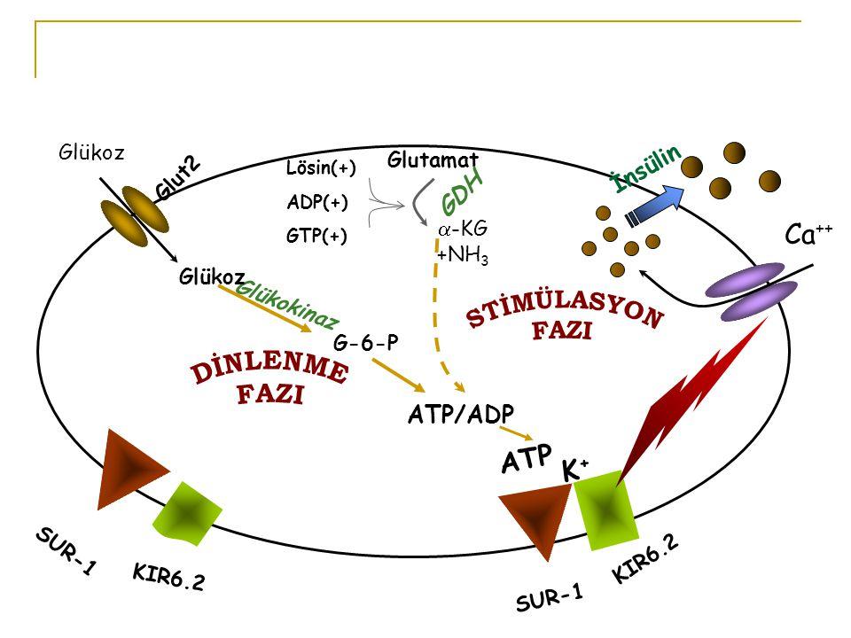 DİNLENME FAZI Ca++ ATP K+ İnsülin GDH STİMÜLASYON FAZI ATP/ADP Glükoz