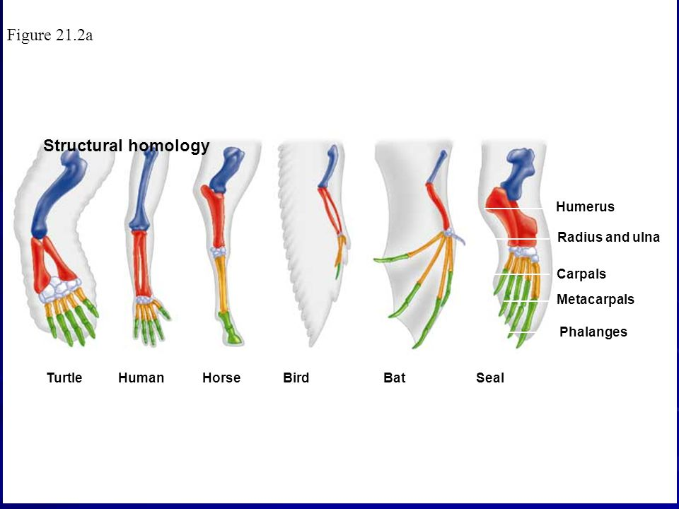 Figure 21.2a Structural homology Humerus Radius and ulna Carpals