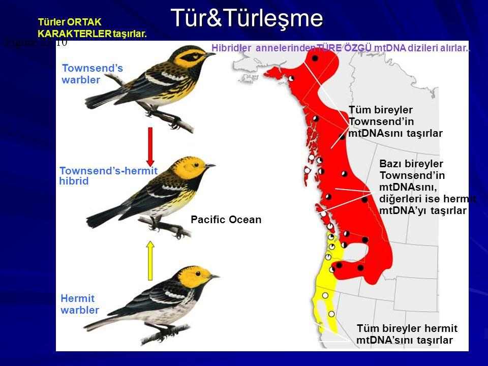 Tür&Türleşme Figure 23.10 Townsend's warbler