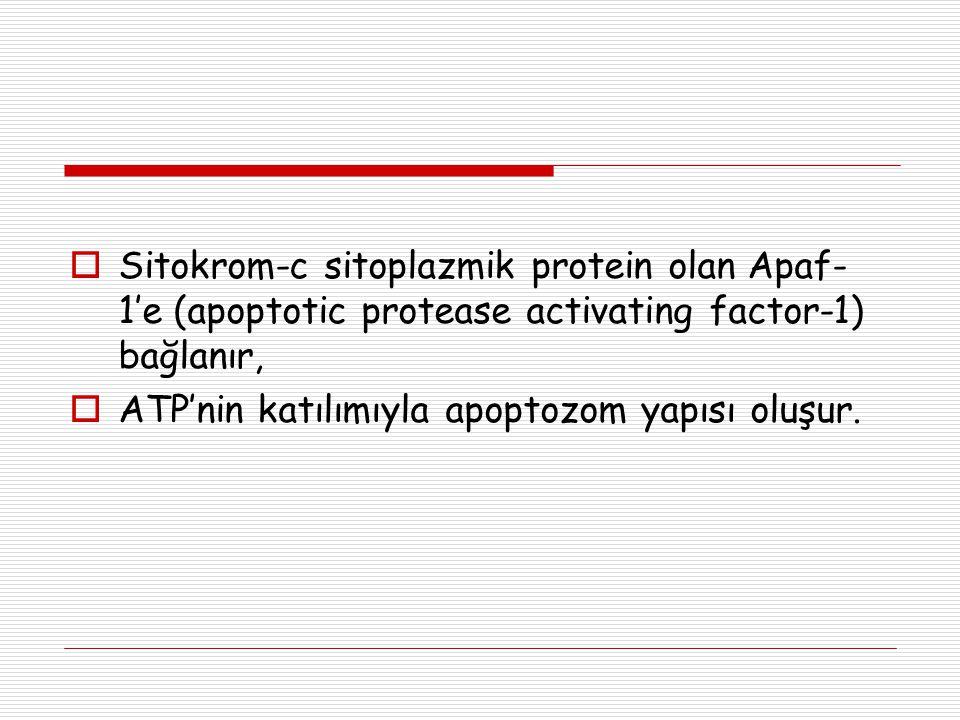 Sitokrom-c sitoplazmik protein olan Apaf-1'e (apoptotic protease activating factor-1) bağlanır,