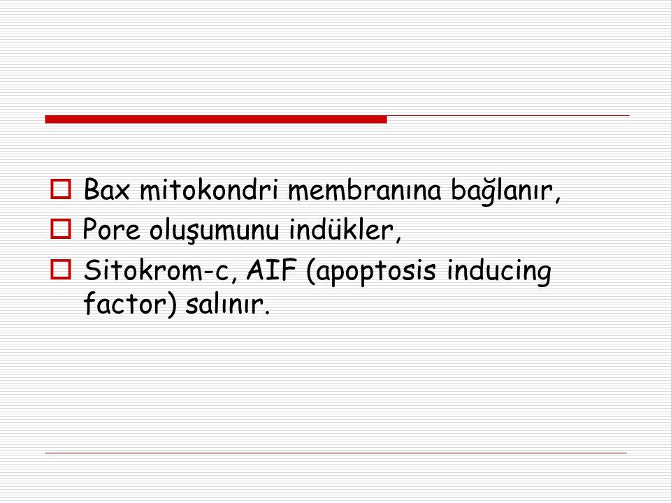 Bax mitokondri membranına bağlanır,