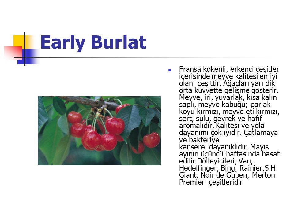 Early Burlat