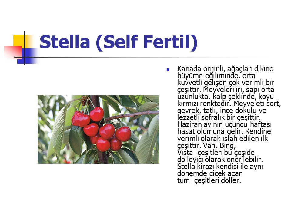 Stella (Self Fertil)