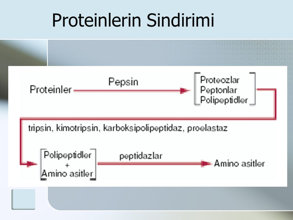 Proteinlerin Sindirimi