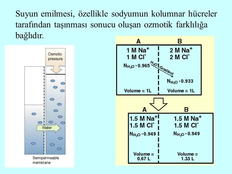 Suyun emilmesi, özellikle sodyumun kolumnar hücreler tarafından taşınması sonucu oluşan ozmotik farklılığa bağlıdır.