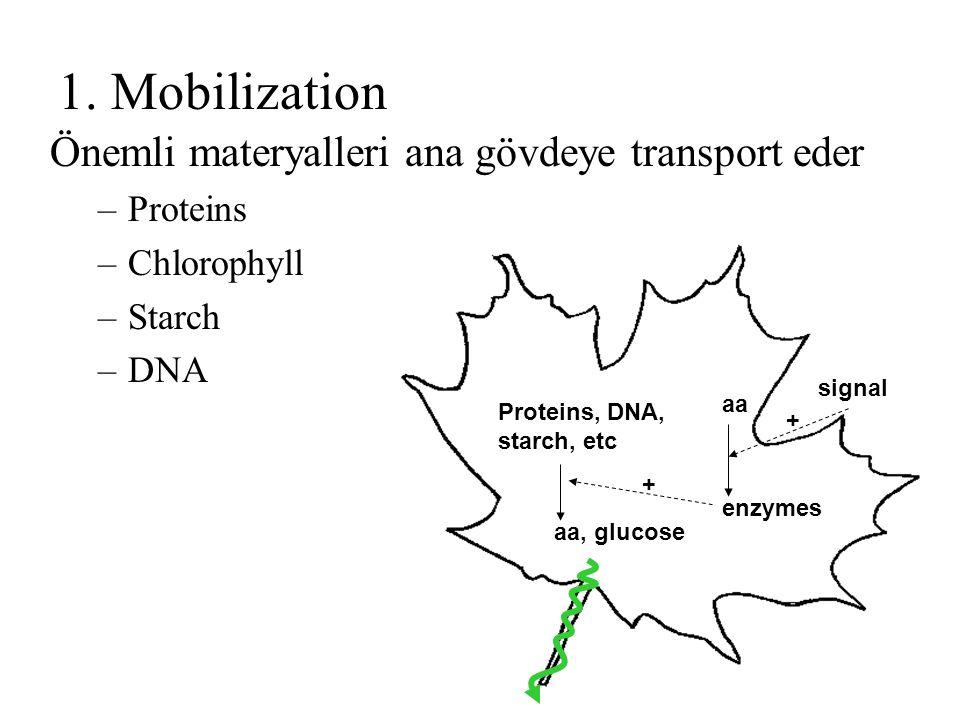 1. Mobilization Önemli materyalleri ana gövdeye transport eder