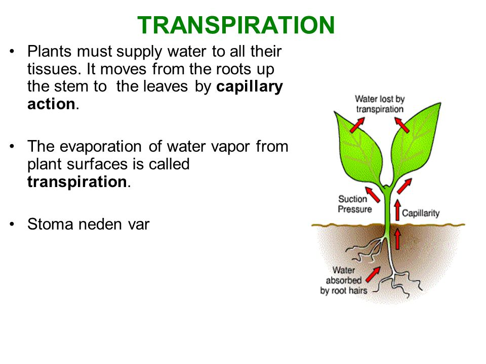 TRANSPIRATION Plants must supply water to all their tissues. It moves from the roots up the stem to the leaves by capillary action.