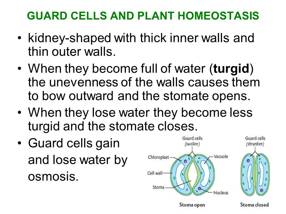 GUARD CELLS AND PLANT HOMEOSTASIS