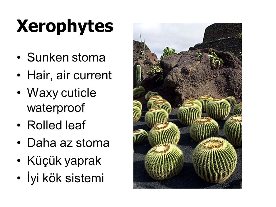 Xerophytes Sunken stoma Hair, air current Waxy cuticle waterproof