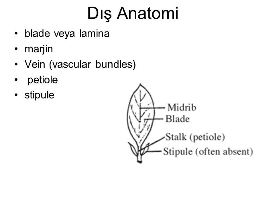 Dış Anatomi blade veya lamina marjin Vein (vascular bundles) petiole