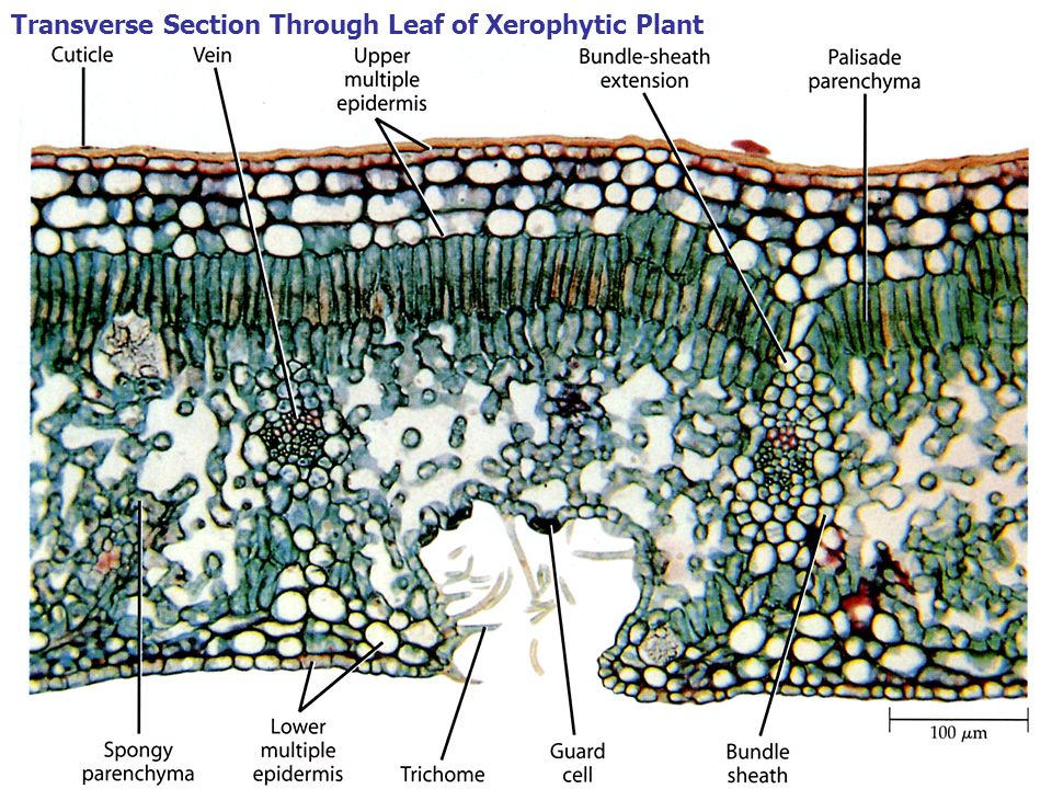 Transverse Section Through Leaf of Xerophytic Plant