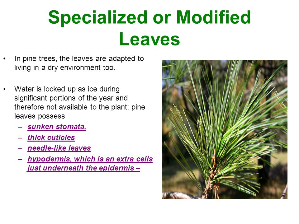 Specialized or Modified Leaves