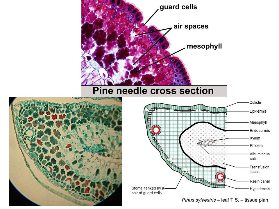 he xylem and phloem in the center are surrounded by transfusion tis­sue composed of a mixture of parenchyma cells and short tracheids. The outer boundary of the transfusion tissue is marked by a single row of conspicuous cells comprising the endodermis. Notice also, depending on the species of pine, that the xylem and phloem may be in two adjacent patches (vascular bundles), or there may be a single vascular bun­dle. Much of the remaining tissue of the leaf is mesophyll, which is not divided into palisade and spongy layers