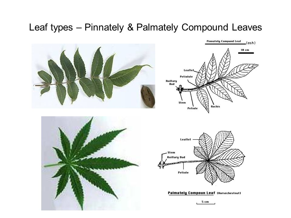 Leaf types – Pinnately & Palmately Compound Leaves