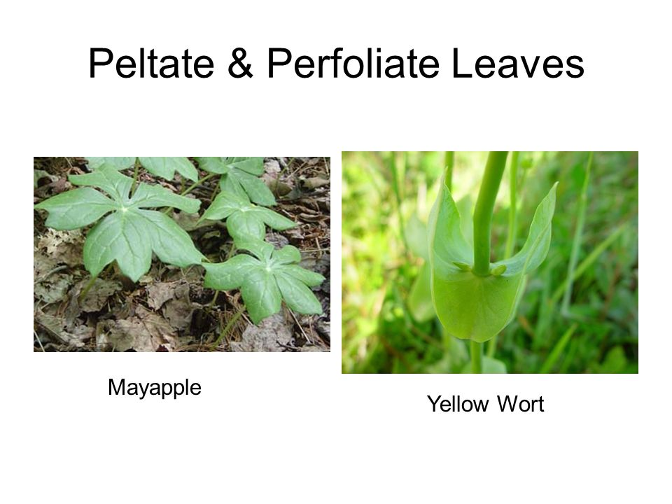 Peltate & Perfoliate Leaves