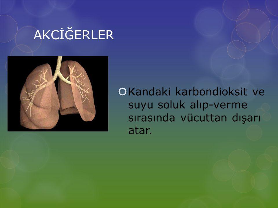 AKCİĞERLER Kandaki karbondioksit ve suyu soluk alıp-verme sırasında vücuttan dışarı atar.