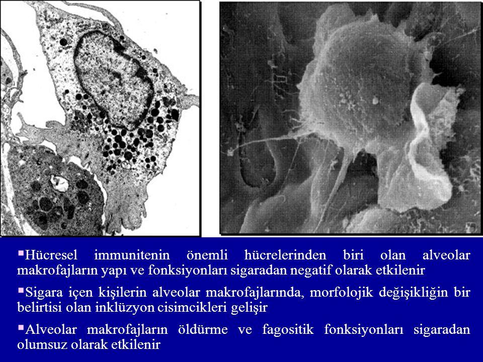 Hücresel immunitenin önemli hücrelerinden biri olan alveolar makrofajların yapı ve fonksiyonları sigaradan negatif olarak etkilenir