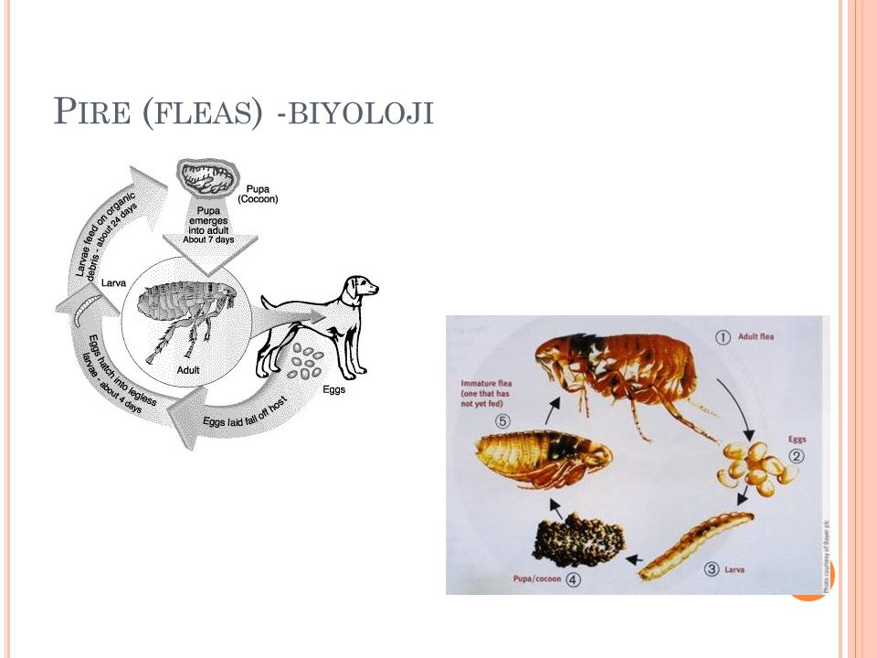 Pire (fleas) -biyoloji