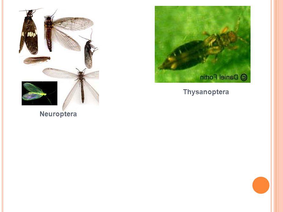 Thysanoptera Neuroptera