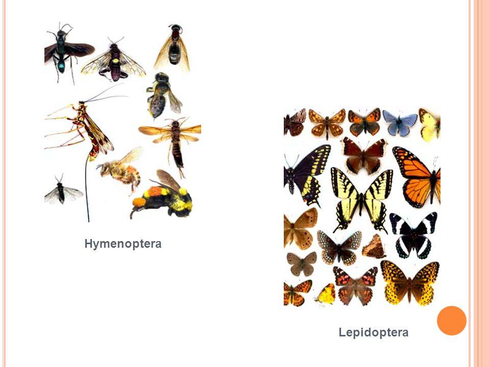 Hymenoptera Lepidoptera