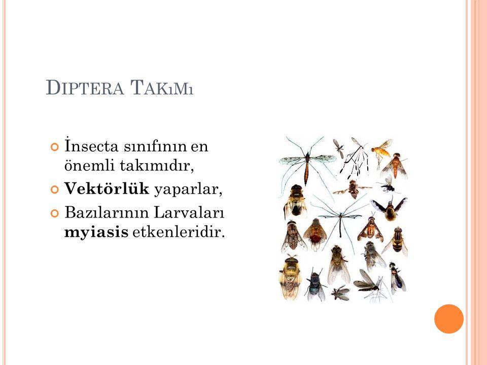 Diptera Takımı İnsecta sınıfının en önemli takımıdır,