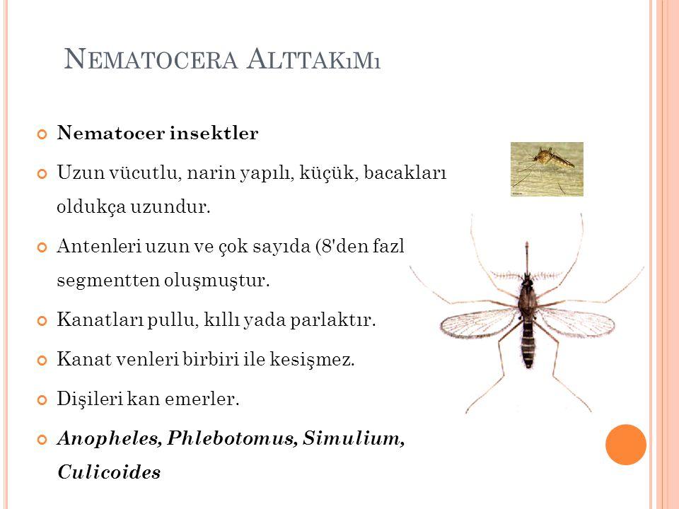 Nematocera Alttakımı Nematocer insektler