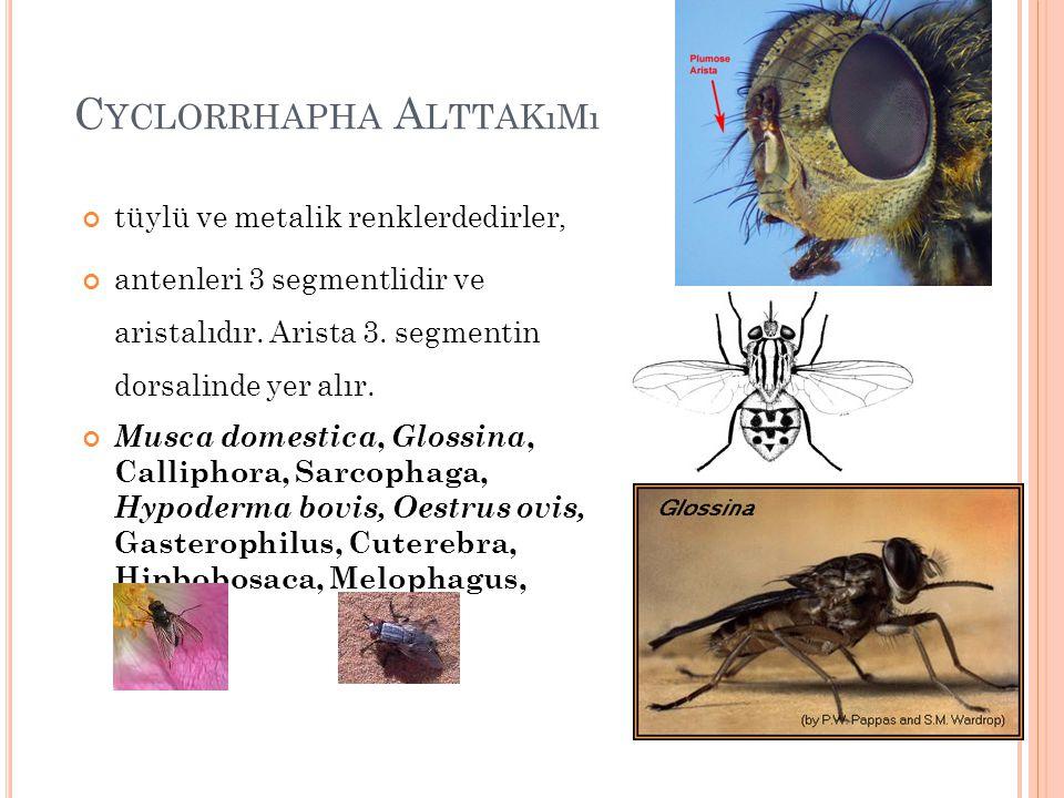 Cyclorrhapha Alttakımı