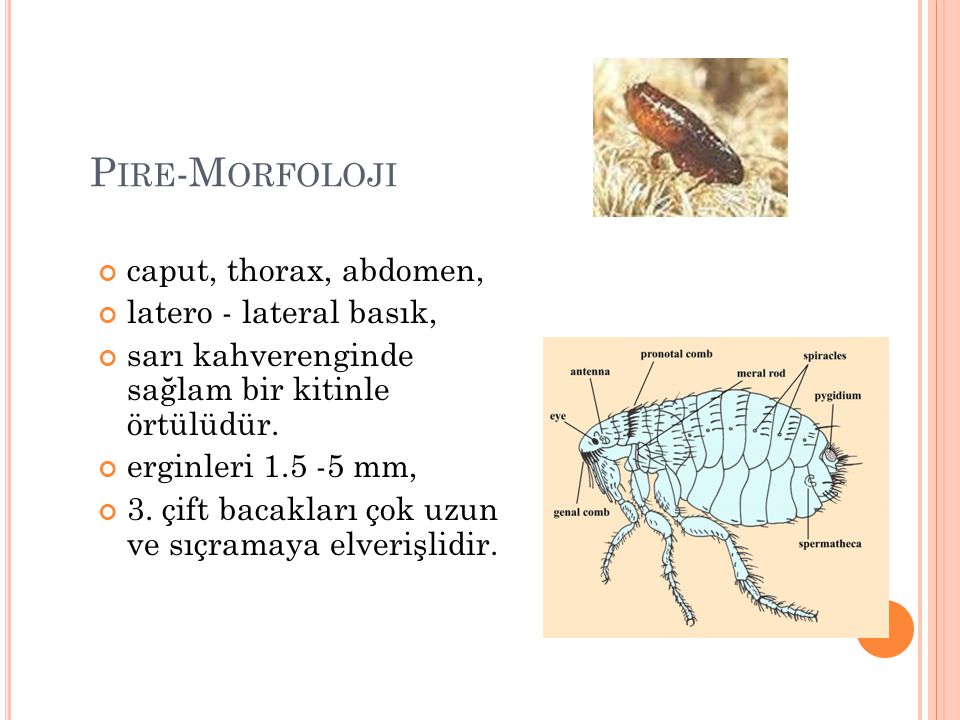 Pire-Morfoloji caput, thorax, abdomen, latero - lateral basık,