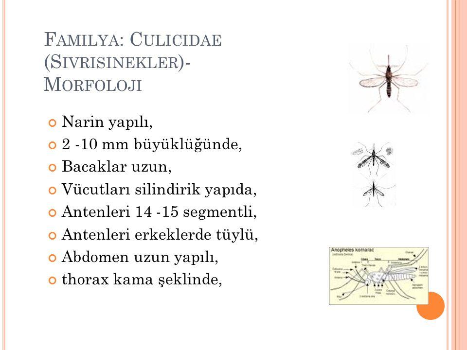 Familya: Culicidae (Sivrisinekler)- Morfoloji