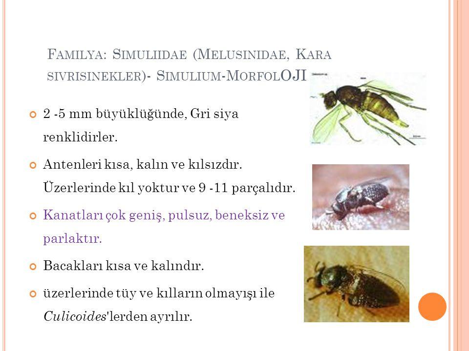 Familya: Simuliidae (Melusinidae, Kara sivrisinekler)- Simulium-Morfoloji