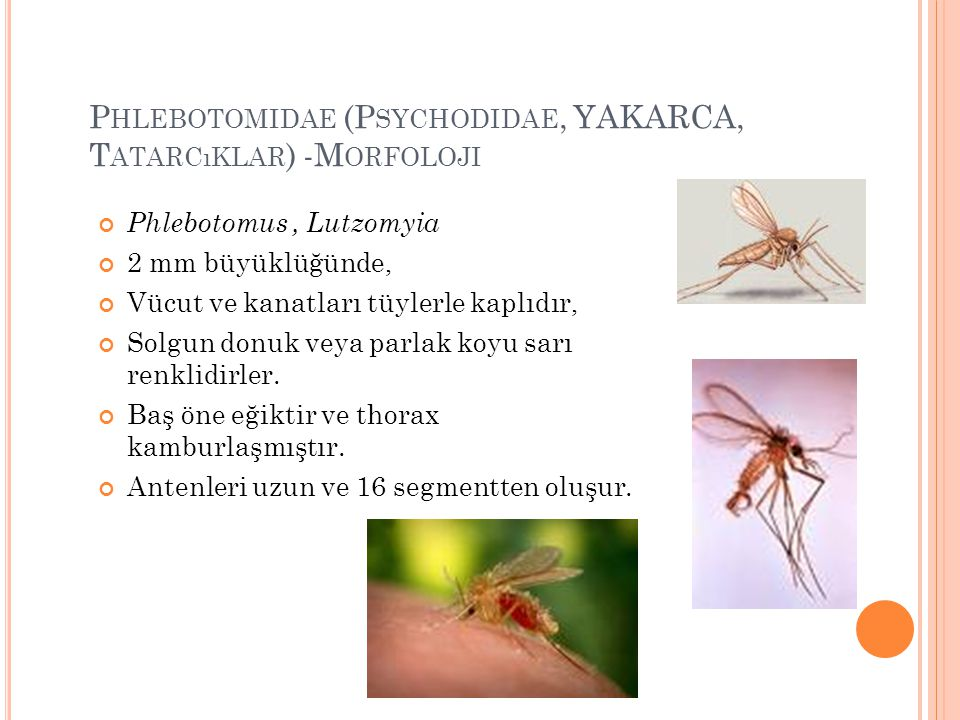 Phlebotomidae (Psychodidae, YAKARCA, Tatarcıklar) -Morfoloji