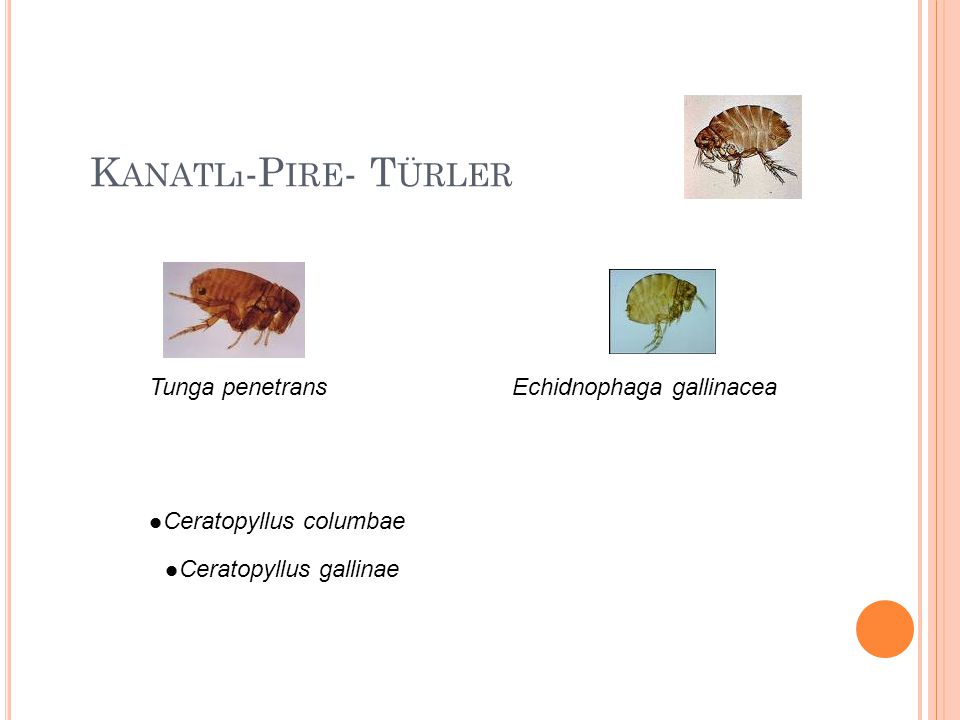 Kanatlı-Pire- Türler Tunga penetrans Echidnophaga gallinacea