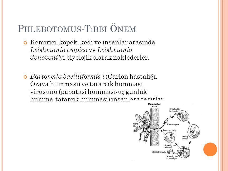 Phlebotomus-Tıbbi Önem