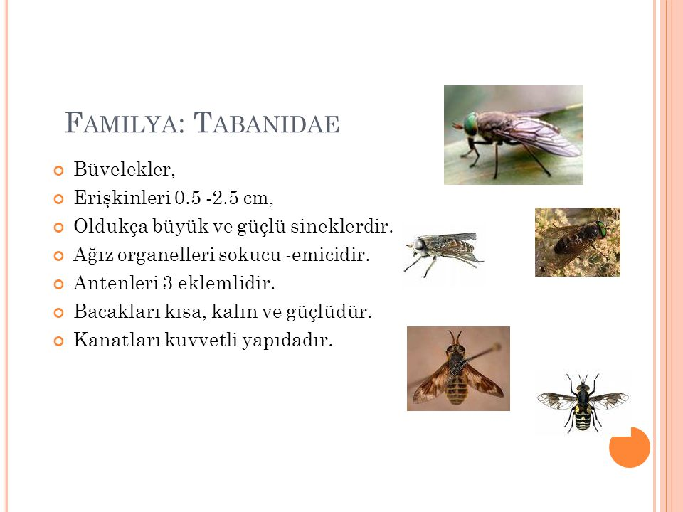 Familya: Tabanidae Büvelekler, Erişkinleri 0.5 -2.5 cm,