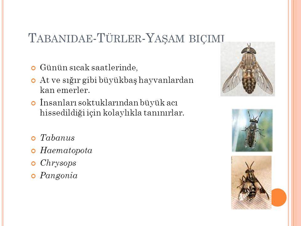 Tabanidae-Türler-Yaşam biçimi