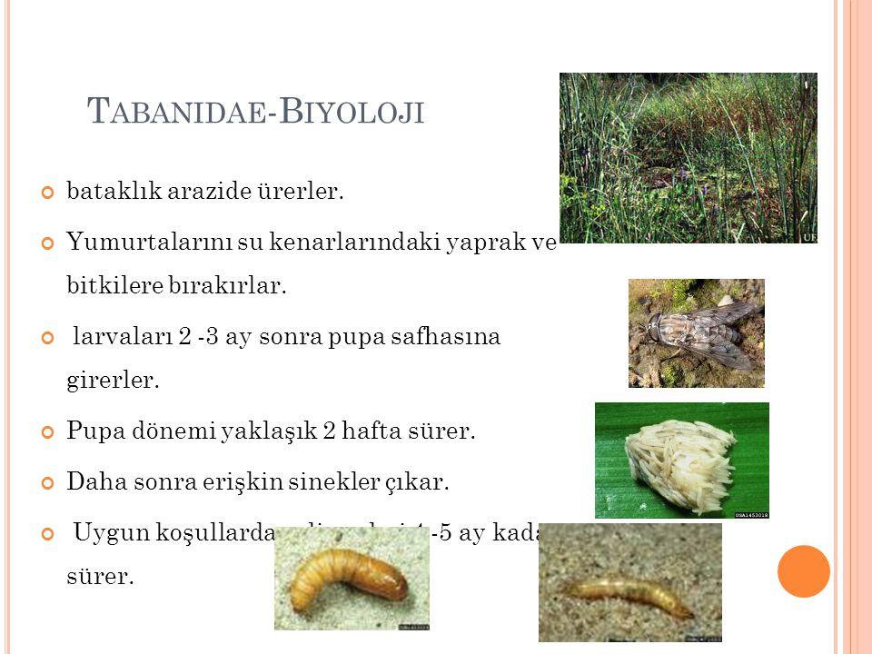 Tabanidae-Biyoloji bataklık arazide ürerler.