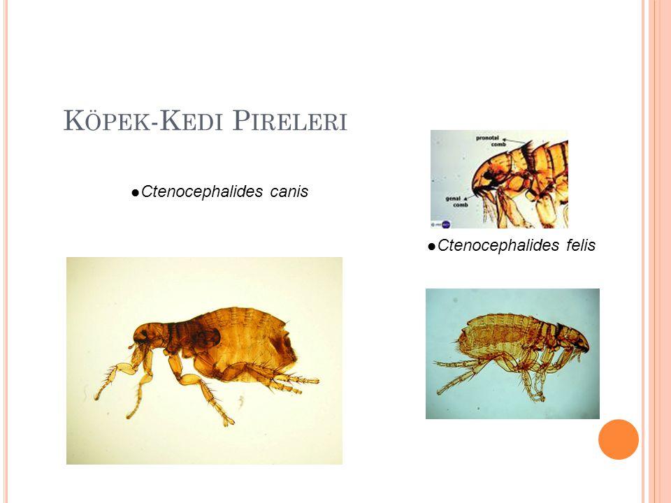 Köpek-Kedi Pireleri Ctenocephalides canis Ctenocephalides felis