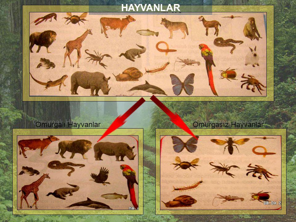 HAYVANLAR Omurgalı Hayvanlar Omurgasız Hayvanlar