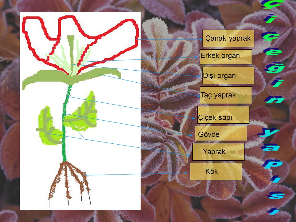 Çiçeğin yapısı Çanak yaprak Erkek organ Dişi organ Taç yaprak