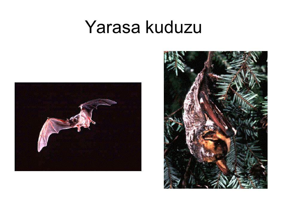 Yarasa kuduzu
