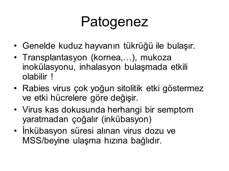 Patogenez Genelde kuduz hayvanın tükrüğü ile bulaşır.