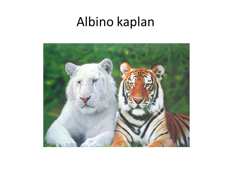 Albino kaplan