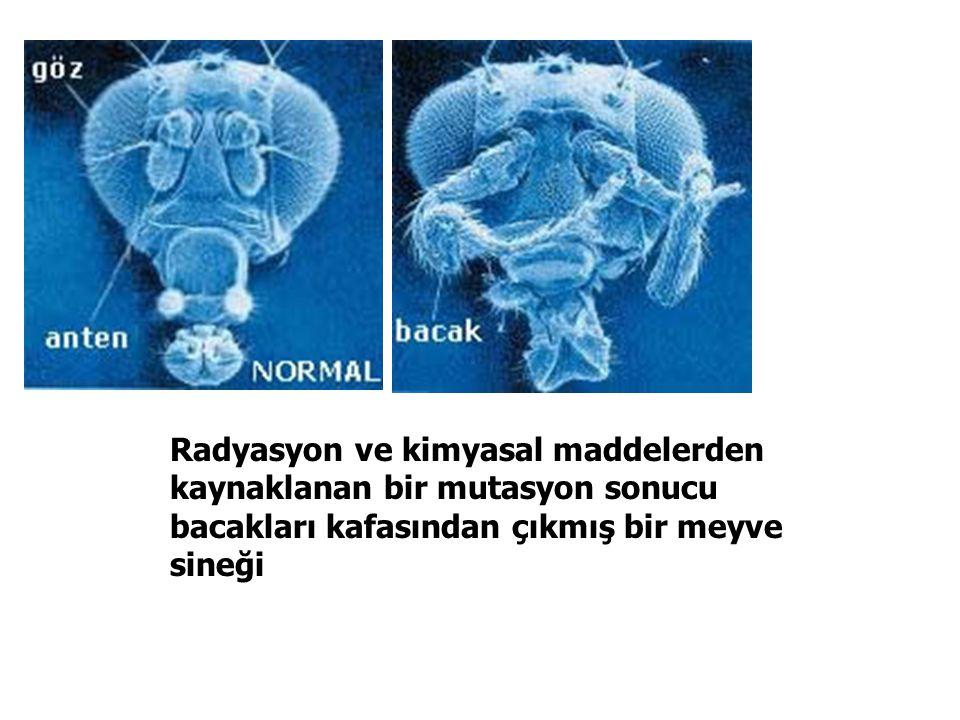 Radyasyon ve kimyasal maddelerden kaynaklanan bir mutasyon sonucu bacakları kafasından çıkmış bir meyve sineği