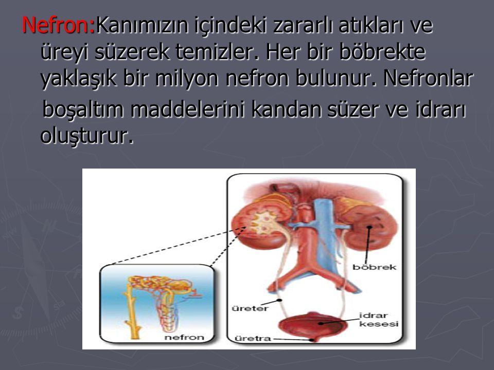 Nefron:Kanımızın içindeki zararlı atıkları ve üreyi süzerek temizler